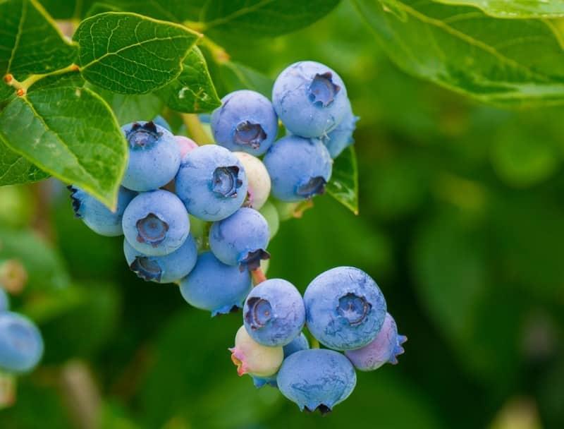 Horticulture Berries.