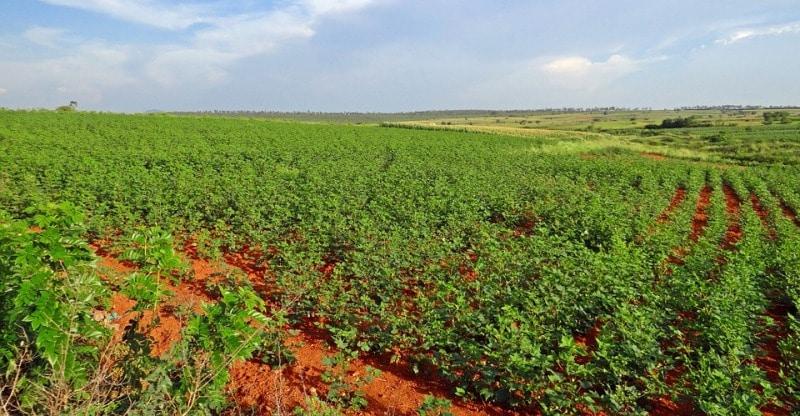 Most Profitable Cotton Crop.