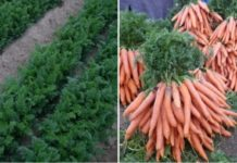 Carrot Farming Income.