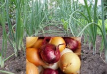 Onion Cultivation Income per Acre.