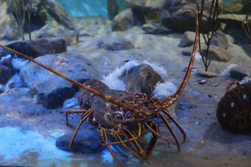Lobster Cultivation Practices.