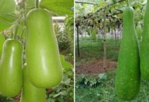 Bottle Gourd Cultivation Income.
