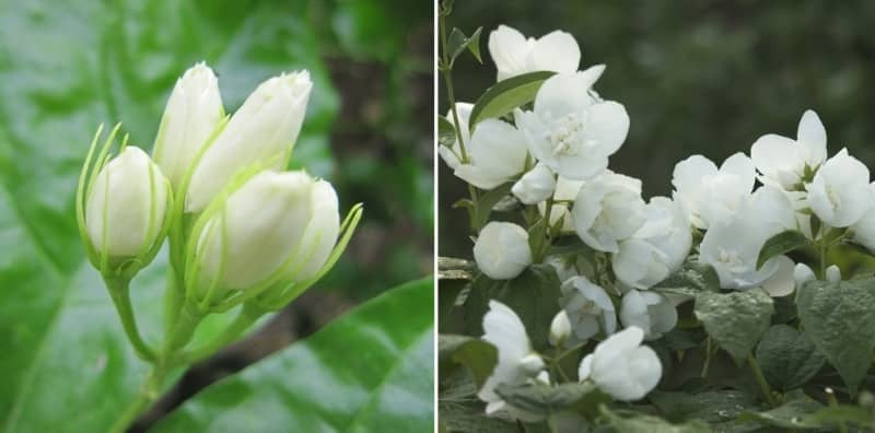 Jasmine Flower Production in Polyhouse.
