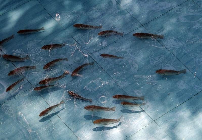 Tilapia Fish Fingerlings.