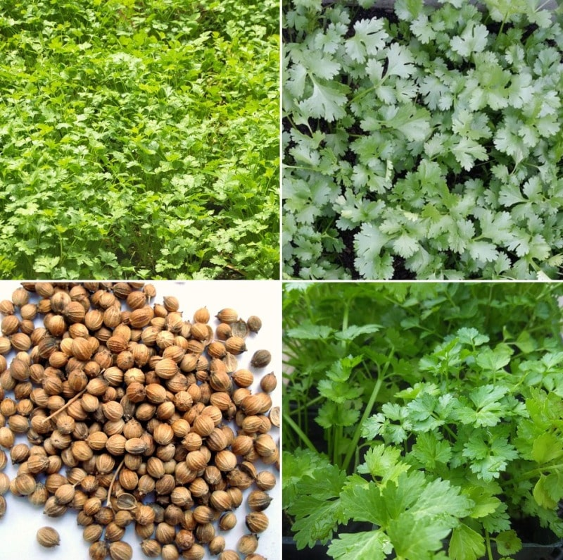Polyhouse Coriander Cultivation.