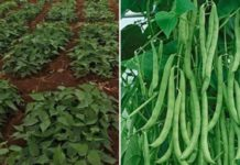 French Beans Farming Income, Cost.