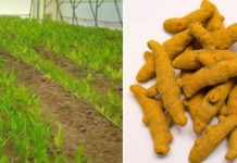 Turmeric Plant Care in Polyhouse.
