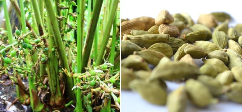 Cardamom Cultivation Project Report.