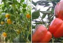 Capsicum Farming in Polyhouse for Profit.