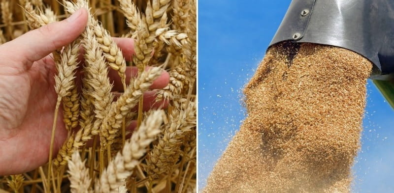 Wheat Cultivation Project Report, Profit