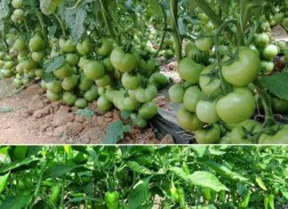 Organic Vegetbale Farming Income , Profit