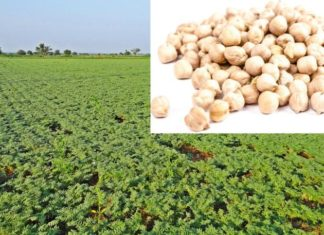 Chickpea Cultivation Income, Project Report.