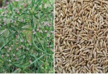 Cumin Cultivation Income (Jeera), Project Report.