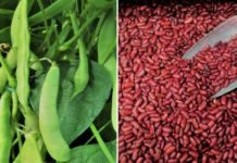 Kidney Beans Farming in Polyhouse.