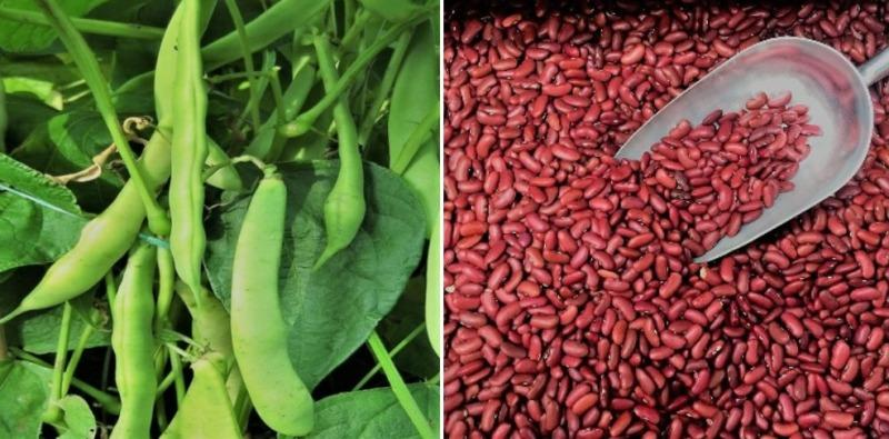 Kidney Beans Farming In Polyhouse Rajma For Profit Agri Farming