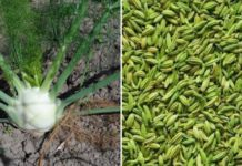 Fennel Seeds Cultivation Income, Project Report.
