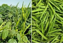 Cluster Bean Cultivation Income.