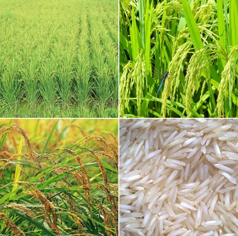 Basmati Rice Cultivation from Seed.