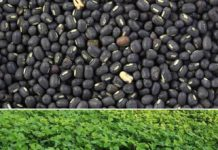 Black Gram Cultivation Income, Project Report.