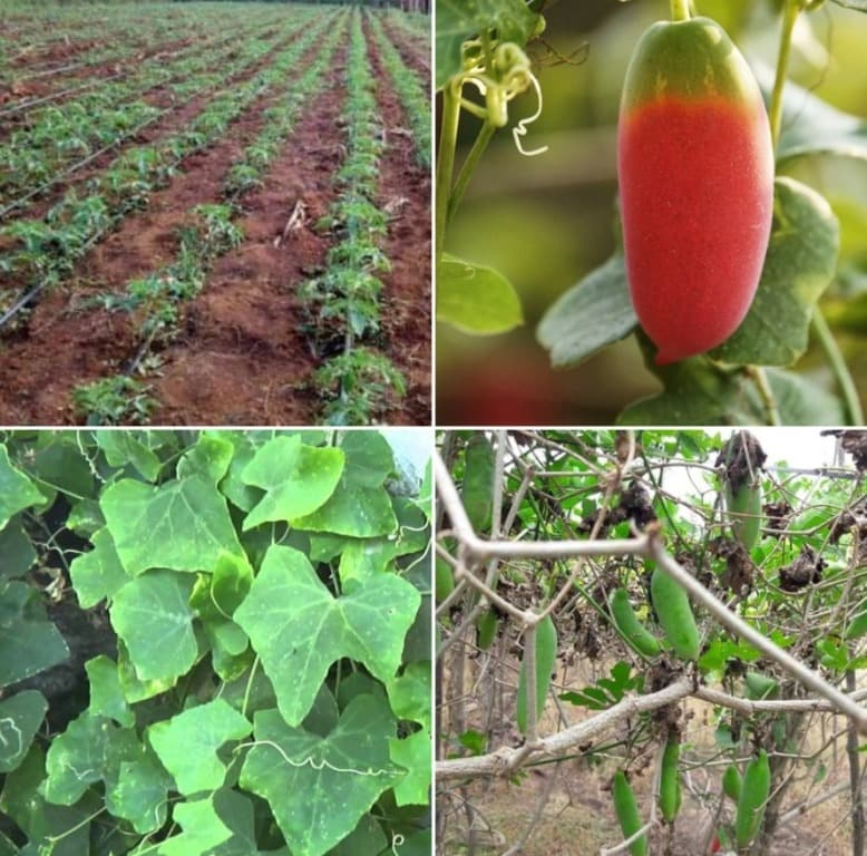 Ivy Gourd Cultivation Cost, Income.