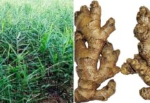 Ginger Farming Income, Cost.