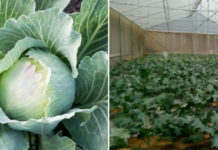 Cabbage Farming in Polyhouse.