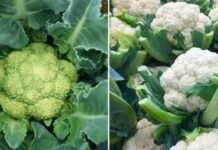Cauliflower Farming in Polyhouse.