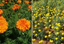 Marigold Cultivation Income, Cost.