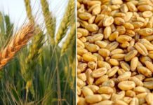 Wheat Cultivation Income, Project Report