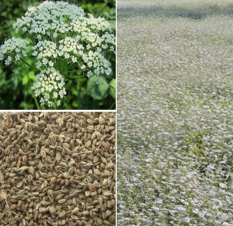 Ajwain Cultivation Project Report.