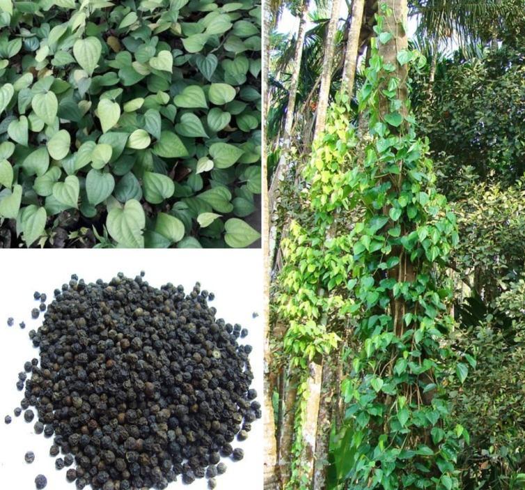 Black Pepper Farming Income Report.
