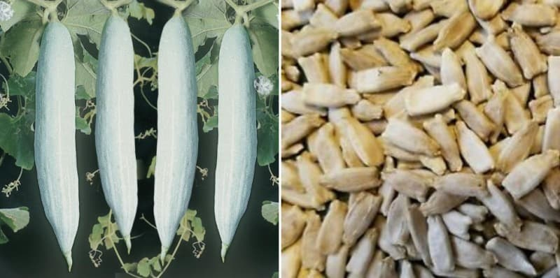 Cultivation of Snake Gourd from Seed.