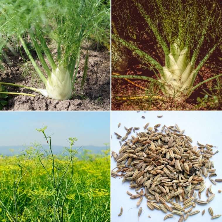 Fennel Seeds Farming Profit.
