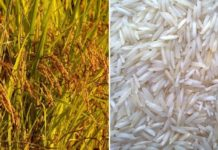 How to Grow Basmati Rice from Seed.