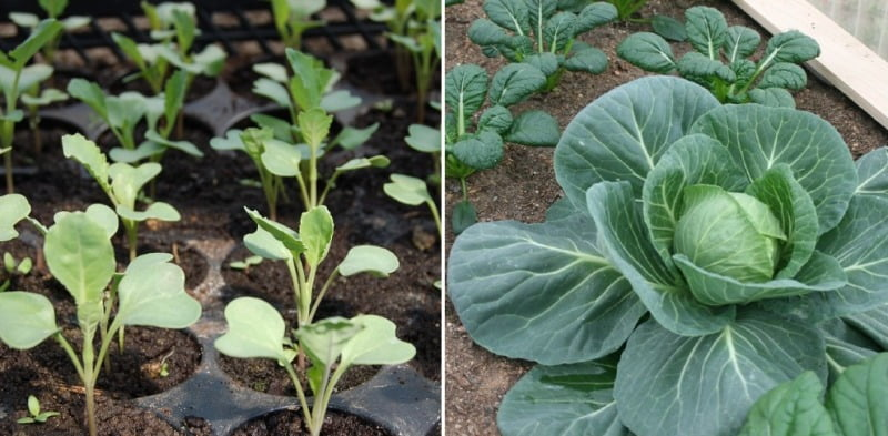Polyhouse Cabbage Production.