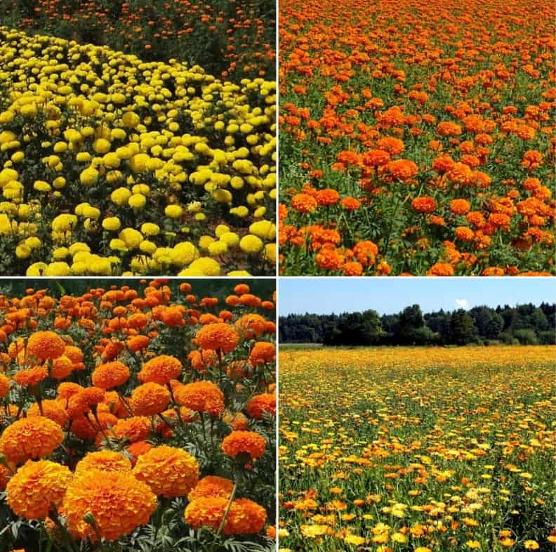 Marigold Production Cost and Profit.