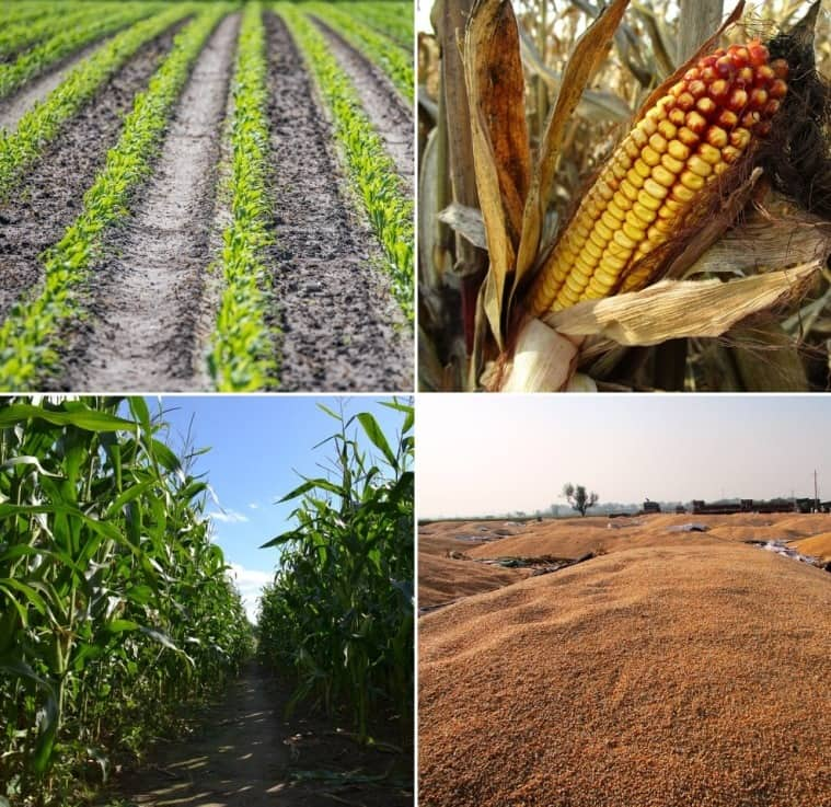 Maize Farming Profit,Cost,Project Report.