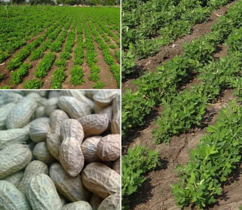 Groundnut Cultivation Cost, Profits.