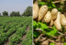 Groundnut Cultivation Income.