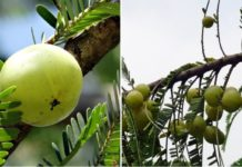Amla Farming Income, Cost, Project Report