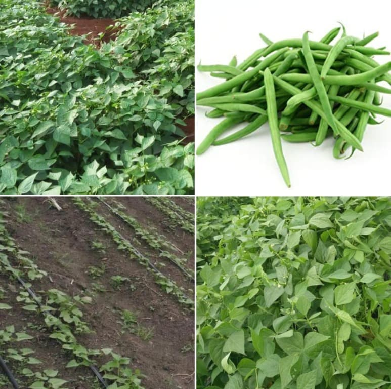 French Beans Cultivation Cost, Profits.