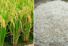 Basmati RIce Cultivation Income.