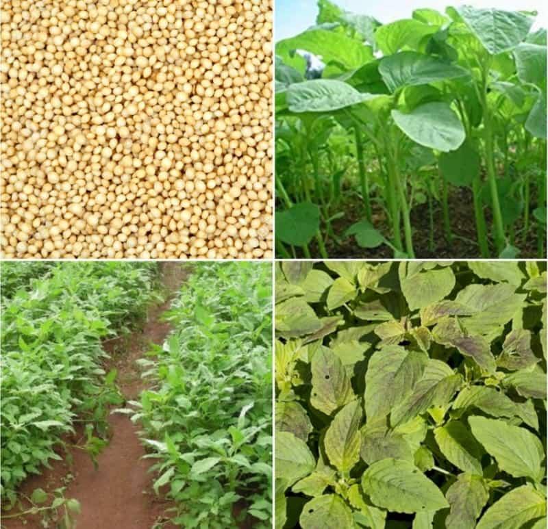 Amaranthus Farming Profit.