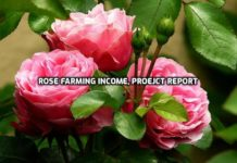 Rose Farming Income, Project Report.