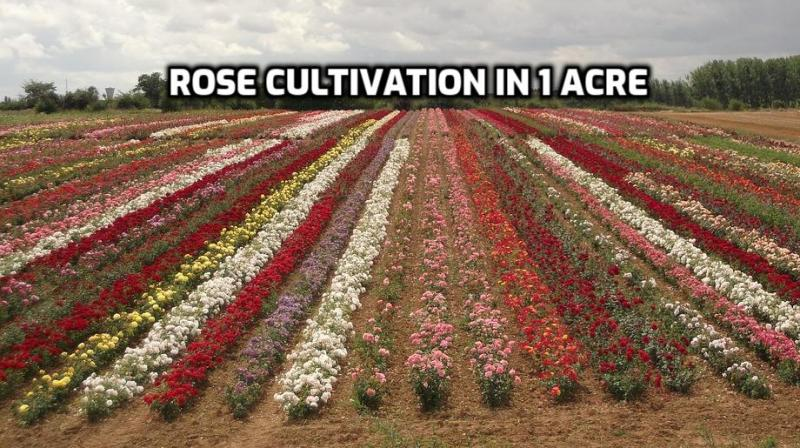 Rose Cultivation Cost, Income, Proejct Report.