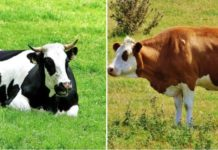 Jersey Cow and Holstein Cow Difference.