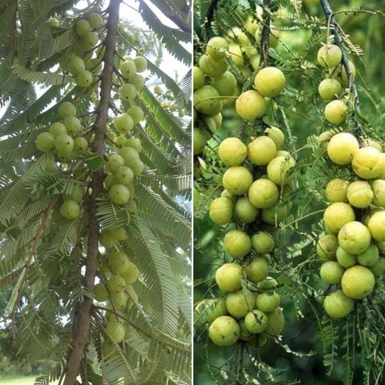 Amla Cultivation Cost, Profit.