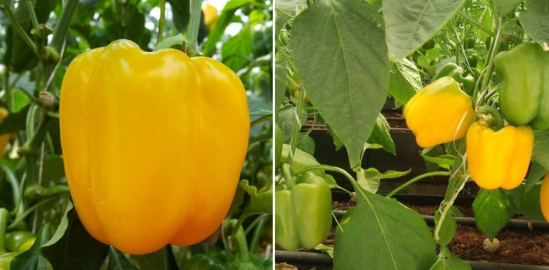 Colored Capsicum in Polyhouse.