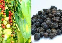 Black Pepper Cultivation Income, Project Report.