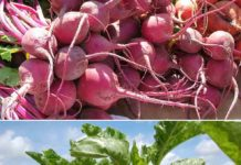 Beetroot Cultivation Income.